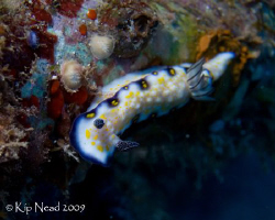 Imperial Nudibranch. From our recent Hawaii trip. Nikon D... by Kip Nead 